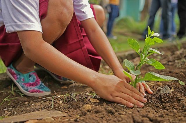 В этом году вместе с традиционными саженцами сосен планируют посадить молодые берёзы.