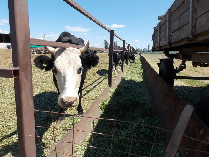 50 коров дали в первом квартале 2018 года 32 тонны молока.
