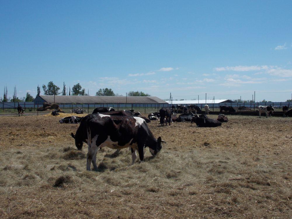 Корпус рассчитан на 72 головы крупного рогатого скота.