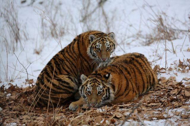 ЕАО станет домом для тигра Сайхана и тигрицы из Лазо