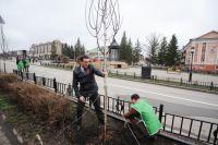 В Омске на улице Заозерной высадят шаровидные ивы на старых трамвайных путях.