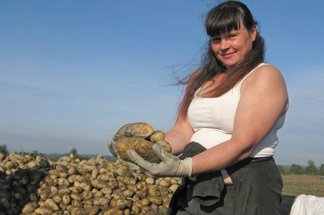 Не всякая отечественная картошка переживет уборку.