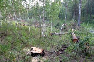 Замдиректора угольного предприятия заплатит штраф за незаконную рубку леса.