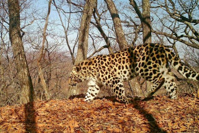 Раненая браконьерами леопардесса стала многодетной матерью
