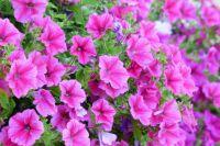 Кроме цветочных и плодовых культур, на фестивале представят новые технологии по оздоровлению садовых участков и другое.