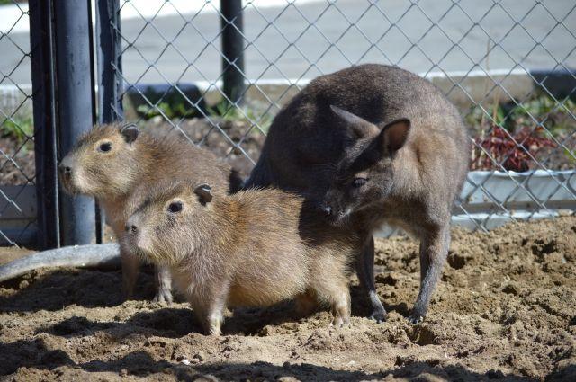 Шефство над грызунами взял кенгуру.