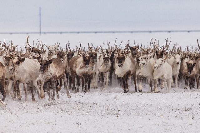 Канадские ученые проверят на Ямале копии древних оленьих упряжек