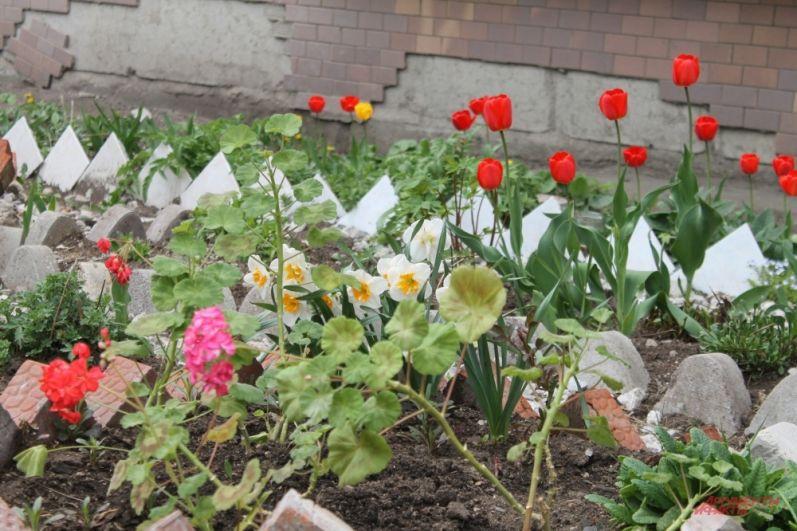На придомовых участках расцветают тюльпаны
