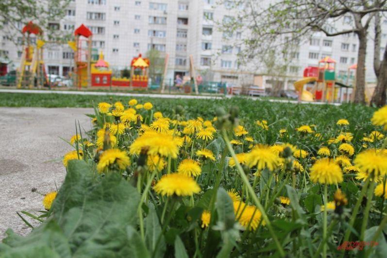 Желтые поляны одуванчиков