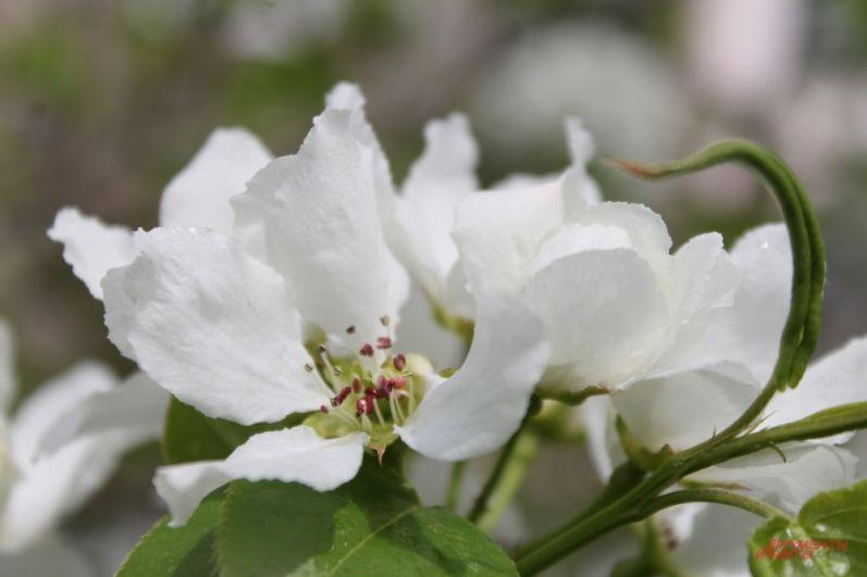 Яблони набирают цвет