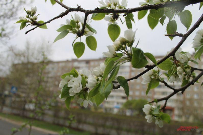 Аромат от яблонь наполняет улицу