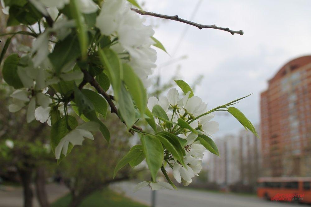 Ещё не на всех яблонях появились цветки
