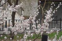 Дикий абрикос расцветает в Омске самым первым.