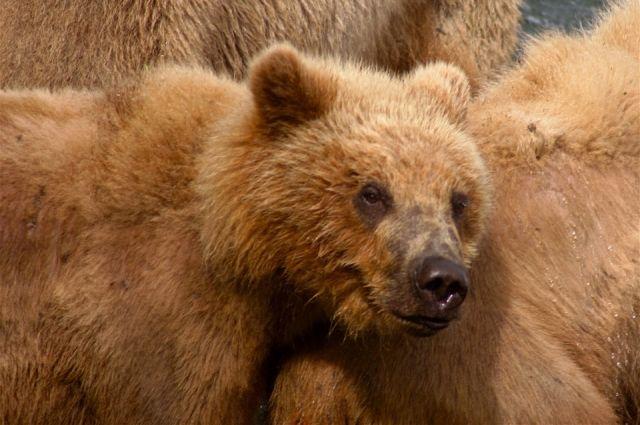 Медведя сняли с дерева и временно поместили на станцию юных натуралистов.
