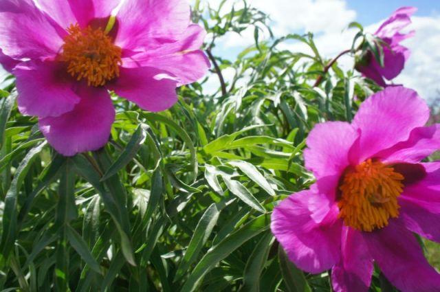 Цветение пиона в алтайской степи