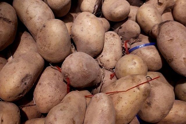 Кемеровские многодетные семьи получат более 63 тонн семенного картофеля.