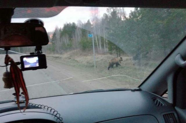 Дикие животные выходят не только на дорогу, но и к населенным пунктам.