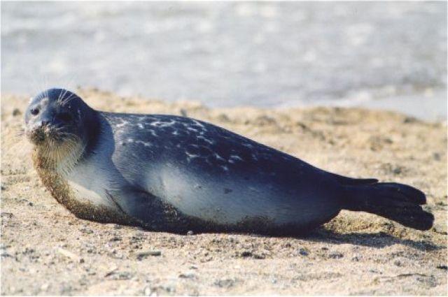 Маленький тюлень заблудился в центре ямальского поселка