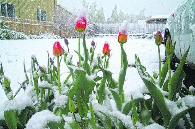 Снег в мае выглядит красиво, но не радует.