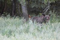 Медведь напал на стадо.