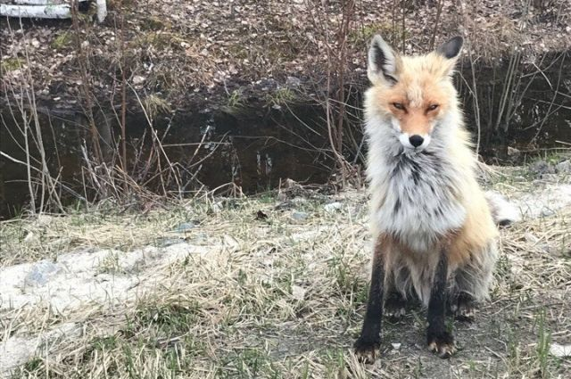 Тюменские лисы припрашивают еду