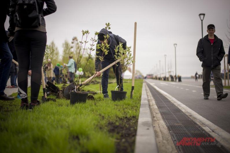 Завершился Зелёный марафон акцией озеленения: на набережной высадили экзотические для Новосибирска многолетние растения – мискантусы (декоративная злаковая трава).