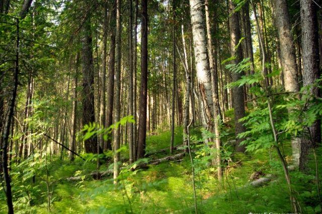 Лес - одно из богатств Ханты-Мансийского региона