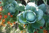 Какой будет цена капусты осенью, неизвестно.