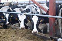 В Пурпе завезли 20 коров из Вологодской области