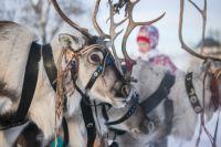 В Пуровском районе тундровиков вакцинируют против сибирской язвы