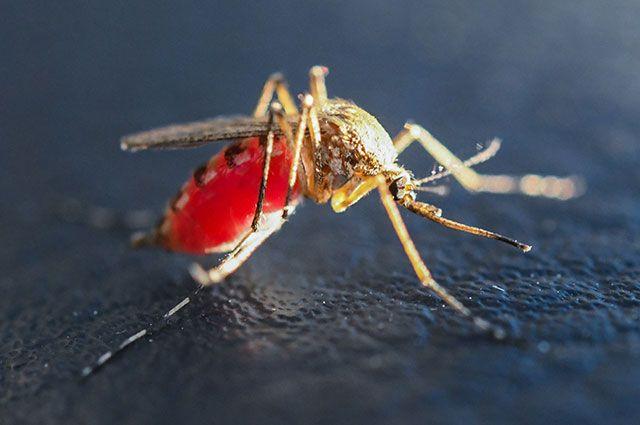 Почему кусают комары самки