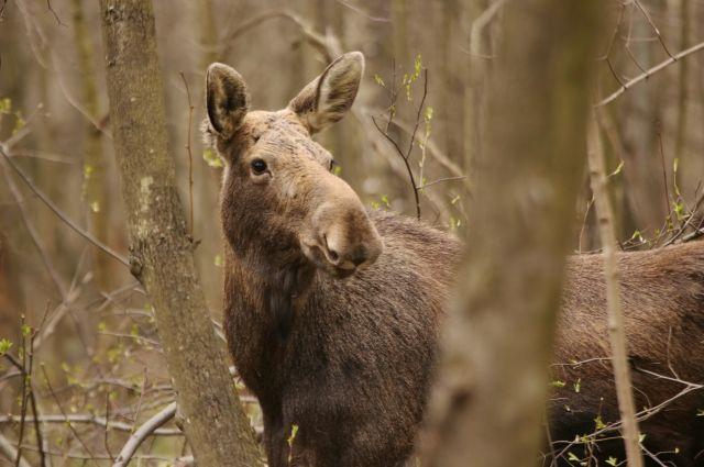 Лосёнок, прибежавший в город из леса, несколько часов бился о металлический забор.