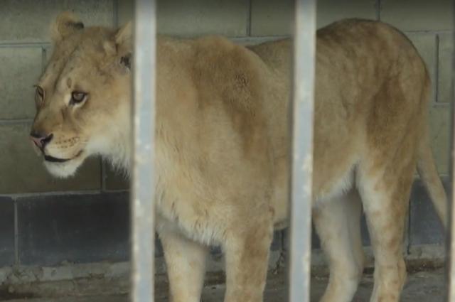 Под Тернополем львица бросилась на школьника, пока его мать снимала видео