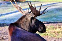 В Кузбассе осудили браконьера, застрелившего лося.