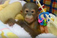 Маленького орангутана окружили заботой и вниманием.