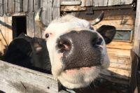 Бактерии от больного животного могут попасть в организм человека с мясом или молоком.