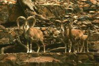 В природе бараны живут  в горах.