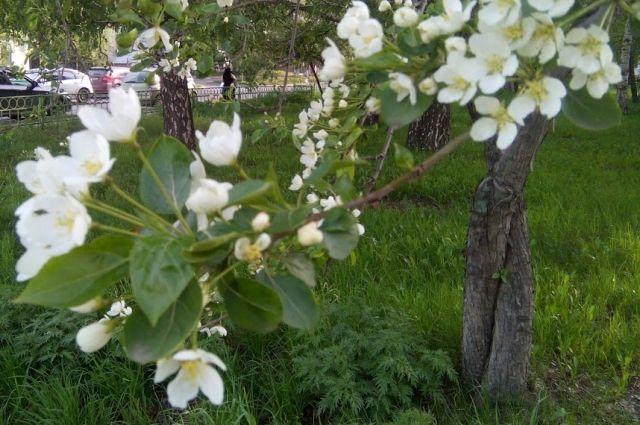 Деревья цветут и пахнут.