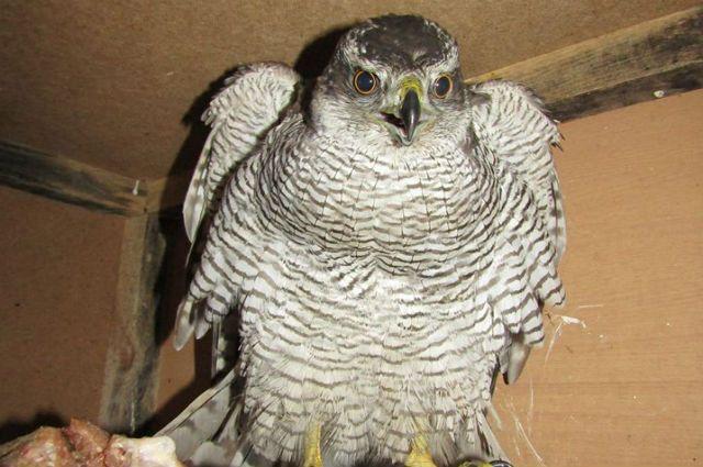 В Тюмени прохожие заступились за хищную птицу