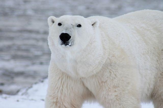 В Норвегии белый медведь объелся шоколада и застрял в окне - Real estate