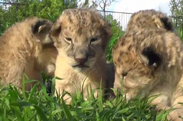 Олененок и львенок родились в зоопарке Ставрополя