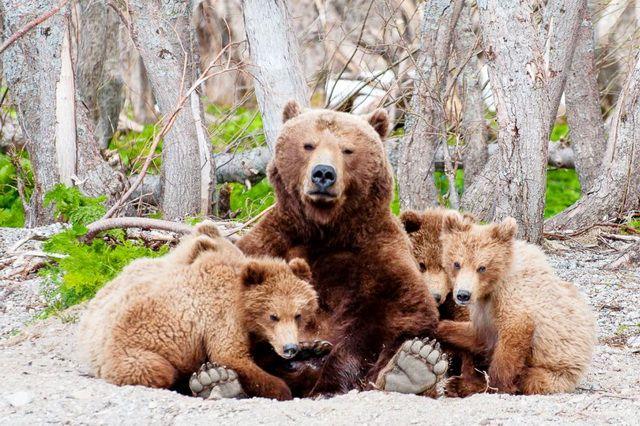 Медведица Матрёна с детьми.