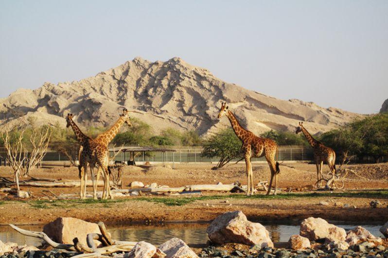 Зоопарк Аль-Айн расположен в Абу-Даби. Половина его территории представляет собой сафари-парк, где дикие звери живут в естественных условиях. Всего в зоопарке насчитывается более четырех тысяч зверей 180 видов, 30 процентов которых занесены в Красную Книгу.