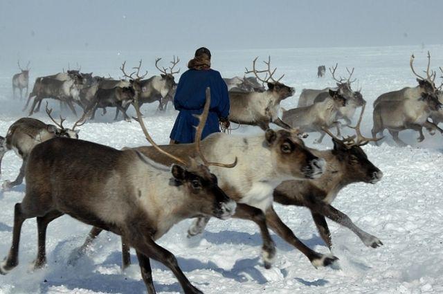 Ямальцы продали финнам более 5 000 оленьих шкур