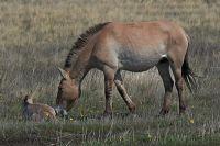 """В заповеднике """"Оренбургский"""" на свет появился первый жеребенок лошади Пржевальского."""