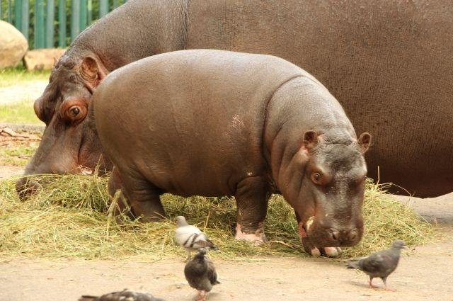 Бегемоты - главный символ зоопарка Калининграда.