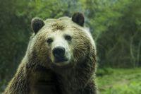 Медведи в Сибири нападают на людей.