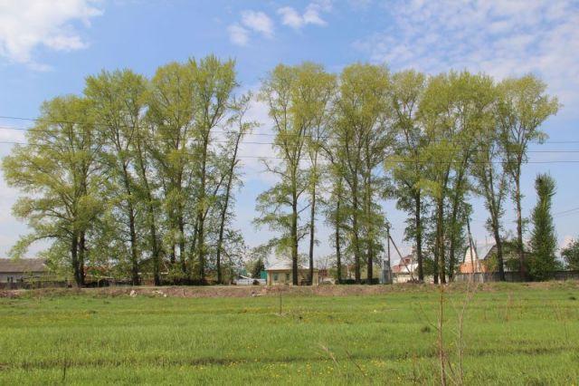 ВКрасноярске вырубили аллею старых тополей