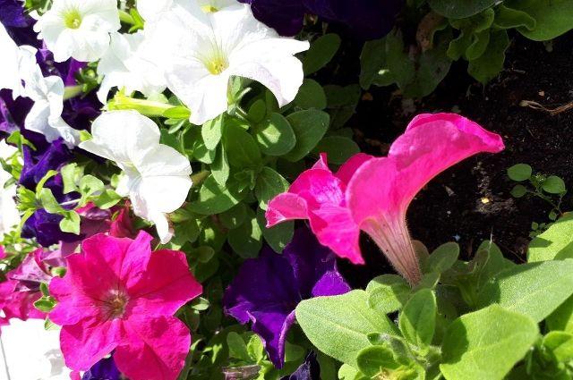 В Голышманово высадили 17 тысяч цветов