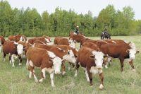 В Тюменской области курганцы похитили 73 теленка и 36 лошадей